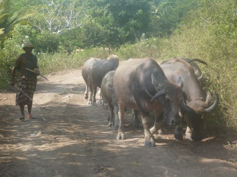 The cows (look more like buffalo) on the way into Mawi surf break