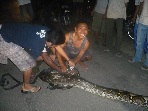 The Anaconda after it was under control by the locals. Prior to this shot it was attacking one of the scooters. The photos don't do justice but this thing was 6m long and wider than my big head