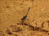 Dragonflies in Arambol: by jessica, Views[276]