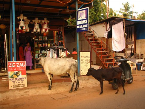 Cows queuing for a room in high season or, checking out the ladies underwear.