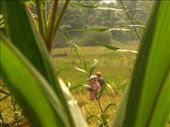 Workers in the paddy fields: by jessica, Views[140]