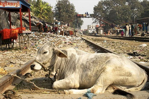 Life is slow around the railway tracks of Haridwar, India. Cows and trash line the way, as in many towns across India.