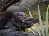 otters at australia zoo: by jessikat, Views[519]