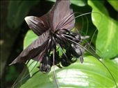 A 'black' orchid in botanic gardens, singapore: by jessikat, Views[944]