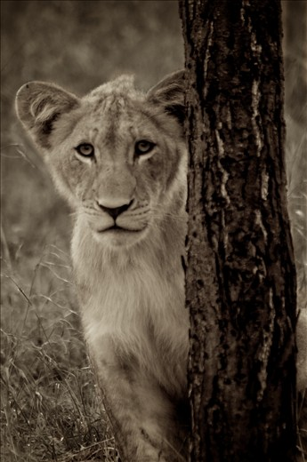 Naomi, a female cub, peeking out from behind a tree.