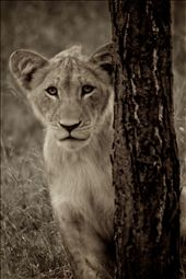 Naomi, a female cub, peeking out from behind a tree.: by jesstout, Views[126]