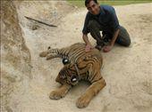 Me stroking the sleepy tigers.: by jfernandes, Views[422]