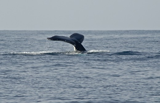 A regular winter visitor the Humpback whale is sighted.