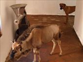 the pet wildebeest even has access rights to the main house! : by jimboandjanet, Views[1068]
