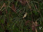 Enorme araignée dans la foret. Son corps faisait la taille de ma main.  Huge spider in the jungle. Her body was as big as my hand.: by jmoison, Views[318]