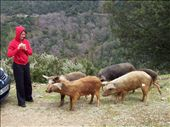 Wild porks from corsica  Cochons sauvages corses: by jmoison, Views[476]