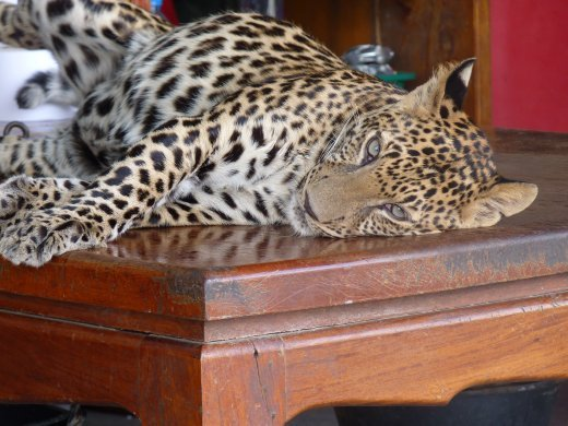 random cheetah cub at bridge over river kwai...