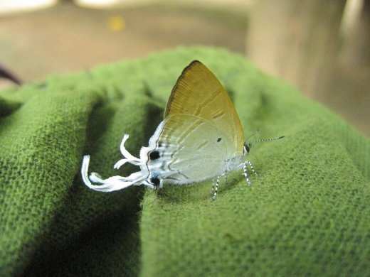crazy butterfly with odd white tentacles out the back off its wings....