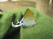 crazy butterfly with odd white tentacles out the back off its wings....: by jo_and_matt, Views[363]