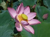 stunning lotus flower in lotus flower lake on way back from My Son temple ...: by jo_and_matt, Views[242]