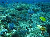 fish and coral galore under the waters of Komodo NP: by jo_and_matt, Views[124]