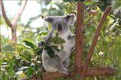koala: by joannah_metz, Views[120]