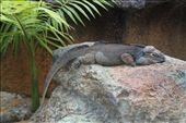 rhinocerous iguana: by joannah_metz, Views[140]