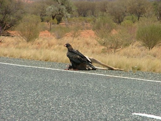 2.20 pm On the road between Winton and Longreach.  Almost every animal sighted on the ride had met a grisly end via a truck bumper providing an easy lunch for the waiting birds.  The smell of the carcass would linger for a long time before and after passing the deceased animal on a bike.