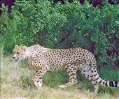 Cheetahs in peril: by johnandconnie, Views[2587]