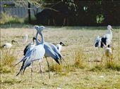 Blue cranes, DeWildt Cheetah Centre: by johnandconnie, Views[114]