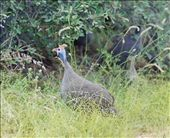 Helmeted guineafowl; DeWildt Cheetah Centre: by johnandconnie, Views[177]