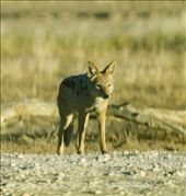 Black-backed jackal; Gemsbok Transfrontier Park, South Africa: by johnandconnie, Views[178]