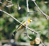 Little bee-eater; Okavanga Delta: by johnandconnie, Views[195]