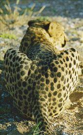 Cheetah; Quiver Tree, Namibia: by johnandconnie, Views[134]