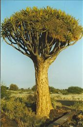 A quiver tree; Namibia: by johnandconnie, Views[214]