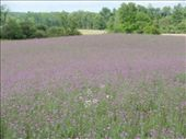 Clover field - central Michigan: by johnkeith, Views[256]