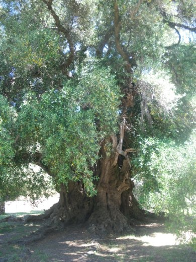 3,800 year old olive tree