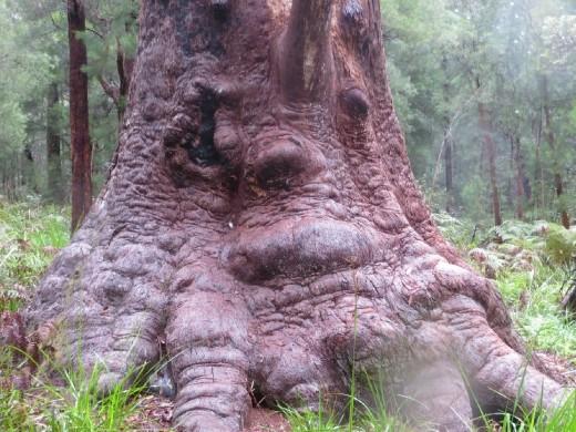 Grandmother Tingle tree