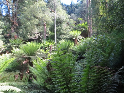 Tree Ferns, Liffey Falls