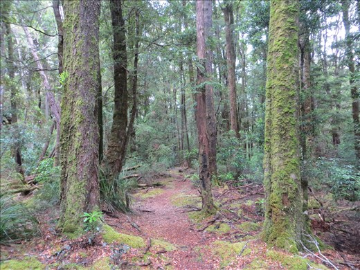 Track in the Tarkine forest
