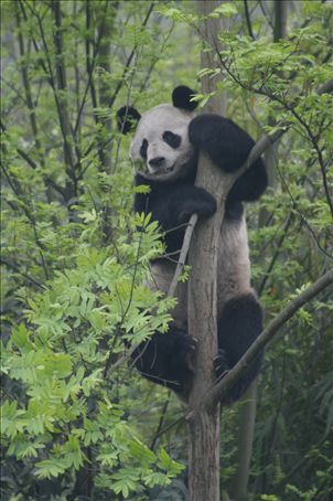 Panda clings precariously to tree.