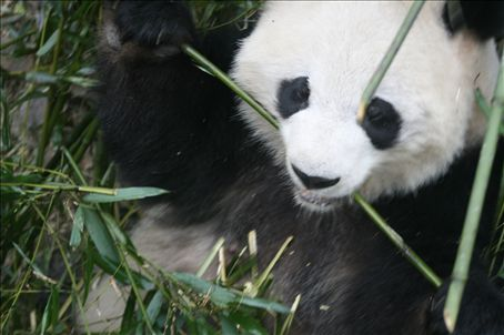 These animals have not adapted well.  Surely someone should suggest to them that bamboo 24hrs a day is boring?