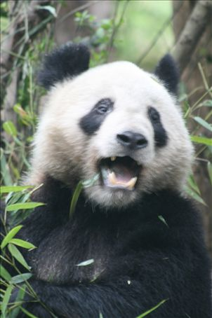 A Panda taken in Chengdu (Sichuan Province) one of the last stroingholds of wild panda in the world