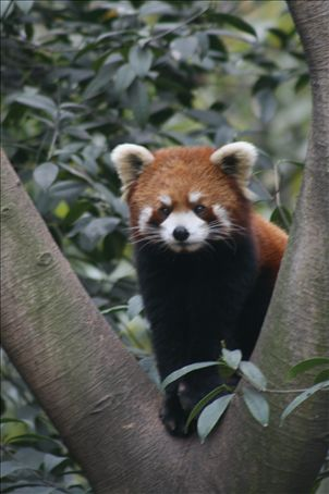 A red panda - resembles a cat more - slow but very dextorous