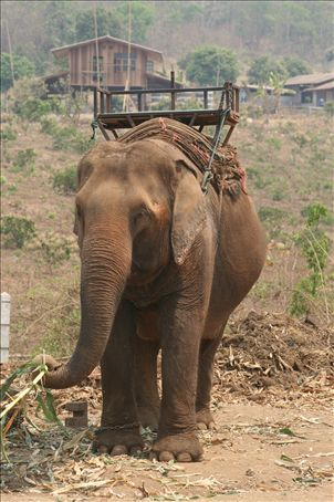 I was upset that the elephants were tethered by chain and still had a harness strapped to them even off duty.  I didn't ride an elephant.
