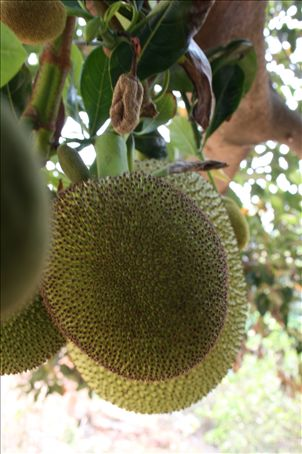The Jackfruit, native to south east Asia and southern India. It is the largest fruit in the world and tastes of so many tropical things - banana, pineapple, kiwi etc