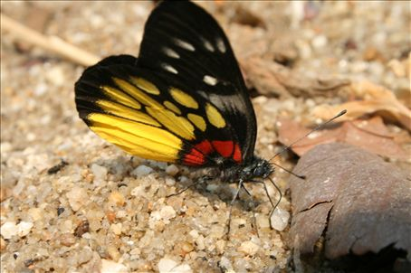 By the waterfalls of nothern Thailand many beautiful butterflies congregate in a spectacular air show of colour. This specimen is likely to be a male Delias Pasithoe Thyra (or Fruhstorfer)found in Nepal, Assam, Burma, South-West China, Yunnan and Thailand.