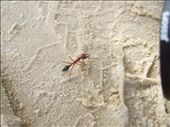 Bulldog ants can only be found in eastern Australia - we saw this by chance on Fraser island: by jonnygo, Views[561]