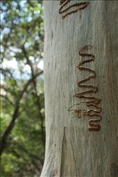 A scribbly gum.  The pattern is formed by moth larvae.  Fraser island: by jonnygo, Views[1383]
