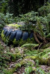 A large tractor tire, discarded along a trail, fills with fallen leaves and debris to create humus from which blue huckleberry, sword ferns and other plants arise. Lichen and moss attach to the tire, which over time will become covered, buried, and part of the forest floor. 