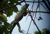 Big iguanas. Walking through the rainforest.: by jorjejuanita, Views[72]