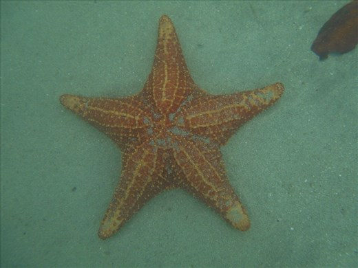 Starfish everywhere in the water, and very shallow. No snorkel required.