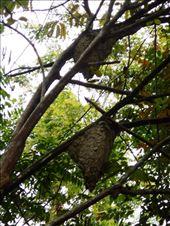 Giant wasp nests so we just kept walking.: by jorjejuanita, Views[197]