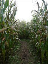 The maize maze: by josh_shona, Views[148]