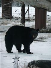 Naughty black bear up past his beadtime.: by josh_shona, Views[154]